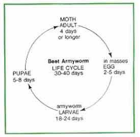 Beet Armyworm Life Cyclepiknik