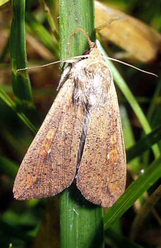 how to get rid of lawn moths organically